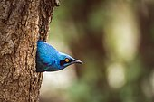 Burchell's Starling (Lamprotornis australis) at nest, Kruger national park, South Africa