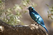 Burchell's Starling (Lamprotornis australis) on a branch, Kruger national park, South Africa