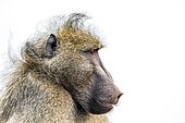 Portrait of Chacma baboon (Papio ursinus) on white background, Kruger national park, South Africa