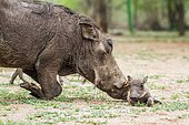 Warthog (Phacochoerus africanus) and young, Kruger national park, South Africa