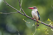 Brown-hooded Kingfisher (Halcyon albiventris) on a branch, Kruger national park, South Africa