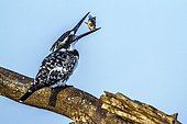 Pied Kingfisher (Ceryle rudis) eating a fish on a branch, Kruger national park, South Africa