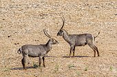 Waterbuck (Kobus ellipsiprymnus) males facing, Kruger national park, South Africa