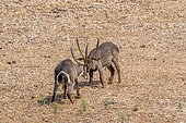 Waterbuck (Kobus ellipsiprymnus) males fighting, Kruger national park, South Africa
