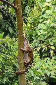 Sunda pangolin (Manis javanica) in a tree, Siberut, Mentawai, Indonesia