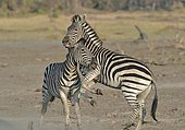 Plains Zebras (Equus burchelli) clash between two males. A dominant stallion protecting his harem against another male who seeks to impose. The fight is to bite the neck of the opponent, to kneel and make him lower his head in an attitude of submission. Usually the group has a male with 5-6 females of which is dominant, and their foals.