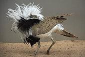 Macqueen's bustard (Chlamydotis macqueenii) male, courtship display, Saudi Arabia