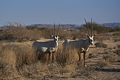 Arabian oryx (Oryx leucoryx), Najd Plateau, Saudi Arabia