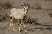 Arabian oryx (Oryx leucoryx), calf, Saudi Arabia