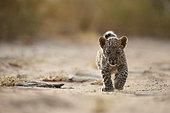 Arabian leopard (Panthera pardus nimr), cub, Saudi Arabia
