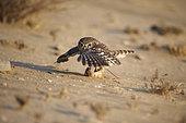 Little owl (Athena noctua) hunting Eastern Arabian spiny mouse (Acomys dimidiatus), Najd Plateau, Saudi Arabia