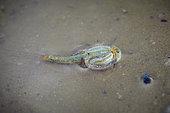 Tadpole shrimp (Triops cancriformis), Najd Plateau, Saudi Arabia