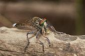 The highwayman (Apoclea femoralis) eating insect, Asir Mountains, Saudi Arabia