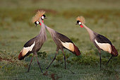 Grey Crowned-Crane (Balearica regulorum) displaying on ground, Masai Mara, Kenya