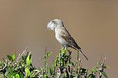 Northern grey-headed sparrow (Passer griseus) with materials for nest building, Masai Mara, Kenya