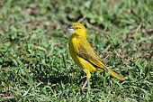 Holub's golden-weaver (Ploceus xanthops) on ground with material for nest building, Masai Mara, Kenya