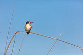 Malachite kingfisher (Corythornis cristatus. Okavango Delta. Botswana