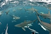 Blacktip sharks (Carcharhinus limbatus) - Site of Protea Banks, off the town of Umkomaas, South Africa