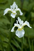 Iris sangiun (Iris sanguinea) 'Snow Queen'