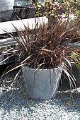 New zealand flax (Phormium tenax) 'Platt's Black' in pot