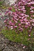 Saxifrage (Saxifraga sp) en fleurs