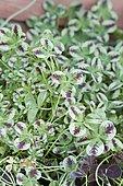 Trèfle rampant (Trifolium repens) 'Dragon's Blood' feuillage