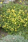 Corydale jaune (Corydalis lutea) en fleurs