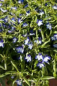 Lobelia (Lobelia sp) two-colored in bloom