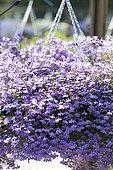 Lobelia (Lobelia sp) purple flowers in a hanging pot