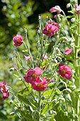 Himalayan Poppy (Meconopsis napaulensis) flowers