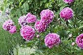 Peony 'Auguste Dessert' in bloom in a garden