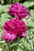 Garden peony (Paeonia lactiflora) 'Paul M Wild'