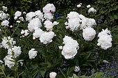 Peony 'Shirley Temple' in bloom in a garden