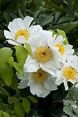 Garden peony (Paeonia lactiflora) 'White Wings'