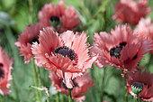 Oriental poppy (Papaver orientale) 'Forncett Summer'