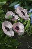 Oriental poppy (Papaver orientale) 'Karine'