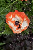 Two-color poppy (Papaver sp) flower