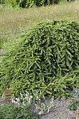 Norway spruce (Picea abies) 'Reflexa'
