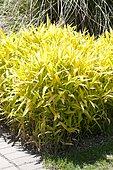 Dwarf Greenstripe Bamboo (Pleioblastus viridistriatus)