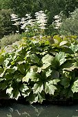 Rodgersia (Rodgersia podophylla) in bloom