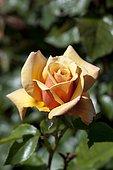 Rose-tree 'Belle Epoque' in bloom in a garden