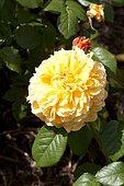 Rose-tree 'Leah Tutu' in bloom in a garden