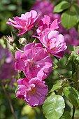 Rose-tree 'Vanity' in bloom in a garden