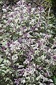 Kitchen sage (Salvia officinalis) 'Tricolor'