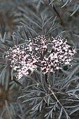Black Elder (Sambucus nigra) 'Eva' flwoers