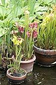 Yellow pitcherplant (Sarracenia flava) 'Cuprea'