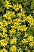 Ithuriel's spear (Triteleia laxa) 'Koningin Fabiola' in bloom
