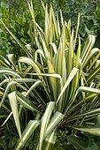 Adam's Needle (Yucca Filamentosa) 'Gardland's Gold'