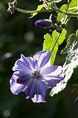 Abutilon (Abutilon x suntense) 'Geoffrey Gorer' flower
