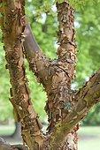 Paperbark maple (Acer griseum) bark